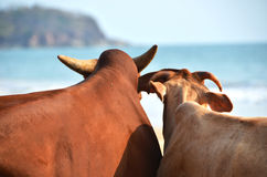 Two cows on  a beach of Goa, India Royalty Free Stock Photography