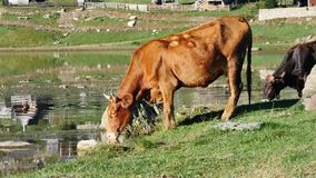Two Cows. Two beautiful brown and black cow drinking water from lake in the mountains on sunny autumn morning, 4K stock video footage