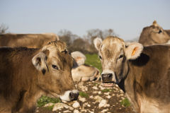 Two cows beautiful twins portraits Royalty Free Stock Image