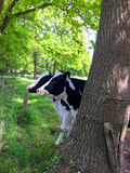 Two cows behind a tree on the meadow Royalty Free Stock Photos