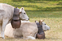 Two cows with big bells resting on the grass Stock Images