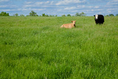 Two Cows. A blond cow resting in a green grassy field under a blue sky. A black and white cow stands nearby Royalty Free Stock Image