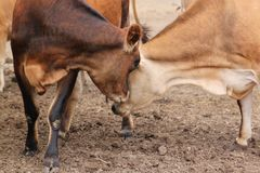 Two cows bump heads. One cow turns to gently nudge another Royalty Free Stock Photography