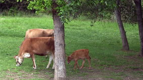 Two Cows And Calf Feeding In Shade Of Trees stock footage
