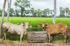 Two cows cattles eating grasses in wooden box. Two cows cattles eating grasses in wooden box near the rice farm with the countryside background Stock Images