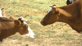 Two cows chew one against the other
