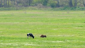 Two cows eat green grass on the field by the forest. Two cows eat green grass on a field near a dense forest stock video