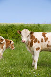 Two cows eating grass Stock Images