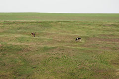 Two cows eating grasses Royalty Free Stock Photo