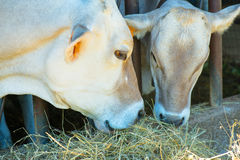 Two cows eating hay Stock Photos