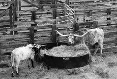 Two Cows Eating Hay at the Ft Worth Stockyards Royalty Free Stock Image