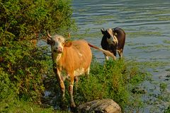 Two cows on the embankment of river Danube. Brown and black cow standing in the water on the embankment of river Danube with mountains in the background in the royalty free stock photos
