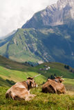 Two cows enjoying a view Stock Photo