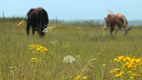 Two cows feeding on pasture stock video footage