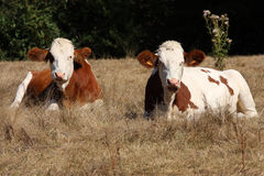 Two cows in a field Stock Photography