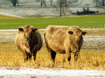 Two cows in a field. Photo of two twin cows in a farm field in rural Pennsylvania Stock Photography