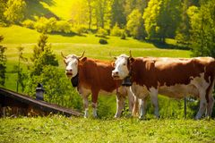 Two cows on the field Royalty Free Stock Photo