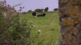 Two cows on a field. A blur to focus shot of two cows on a field stock video