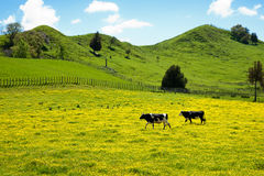 Two cows in field of buttercup. Royalty Free Stock Images