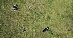Two cows in a field. Drone aerial view stock footage