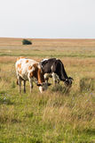 Two cows in the field Royalty Free Stock Images