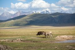 Two cows in the field. Tien Shan mountains on background Royalty Free Stock Photography