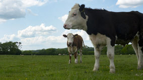 Two cows in a field. Two cows togeather in a green field Stock Photo