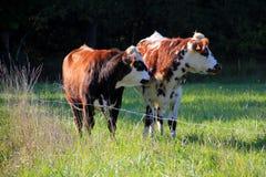 Two cows stock photos