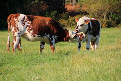 Two cows Stock Image