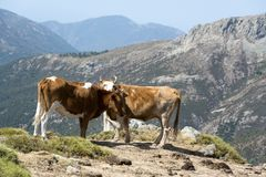 Two cows freely roaming on mountain meadow Royalty Free Stock Photo