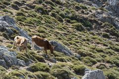Two cows freely roaming on mountain meadow Royalty Free Stock Photos