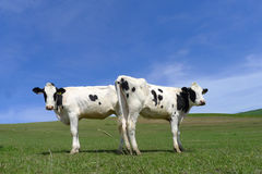 Two cows on grassland. Cornwall, England Stock Photography