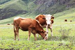 Two cows graze on a green meadow. Royalty Free Stock Photography