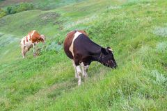 Two cows graze on the lie after the rain. Farm royalty free stock photo