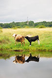 Two cows graze by water. Baltic spit, Baltiysk, Russia Stock Image