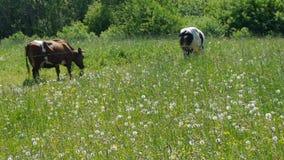Two cows grazed in green meadow. Near farm stock video