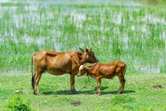 Two cows are grazed on a pasture. Royalty Free Stock Image