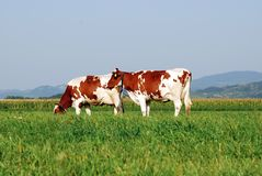 Two Cows grazing in field Stock Photography