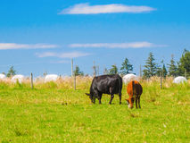 Two cows grazing  on the grass field. Two  cows grazing on the grass field Royalty Free Stock Photography