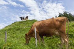 Two cows grazing on a meadow Stock Photos