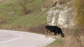 Two Cows Grazing Near Road stock video