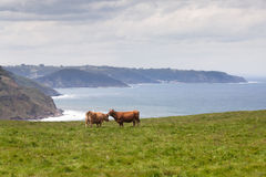 Two cows grazing on pasture near sea coast Royalty Free Stock Photography