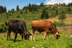 Two cows grazing. In a colorful field of rural highland Royalty Free Stock Photography