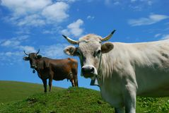 Two cows on a green alpine meadow on a sunny day. Cows in the Alpine meadow in the Carpathian Mountains, green grass and a sunny day stock photo