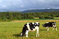 Two cows in a green field. Two cows black and white grazing in a green field Royalty Free Stock Images