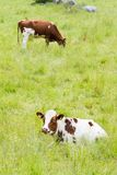 Two Cows on a Green Grassy Field. A Brown and White Cow Lying in High Grass Looking Towards the Camera Royalty Free Stock Photography