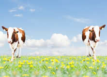 Two cows Royalty Free Stock Photos