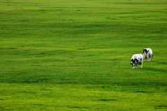 Two Cows in Green Pasture. Two black and white cows dot the landscape of lush green pasture Stock Photography