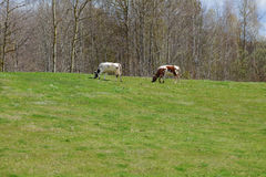 Two cows on green pasture Stock Image