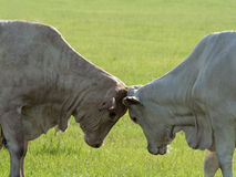 Two cows headbutting one another. Two cows squaring off in a dominance match up head butting one another with pasture background Stock Photography